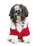 Shi-Tzu in Santa coat, 2 years old Royalty Free Stock Photos