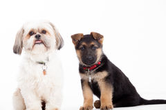 Shi tzu with a sheppard Stock Images