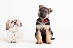 Shi tzu with a sheppard. Happy dog photographed in the studio on a white background royalty free stock photo