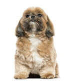 Shi tzu sitting, isolated Royalty Free Stock Photo