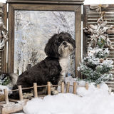 Shi tzu sitting in a winter scenery Stock Image