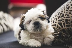 Shi Tzu small puppy dog stock photography