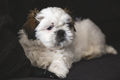 Shi Tzu small puppy dog stock photos
