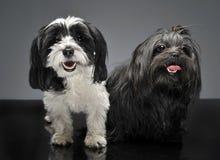 Shi-tzu und ein havanese sitzen in einem grauen Studio und in den Blicken an y Lizenzfreies Stockbild
