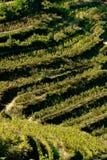 Shiacchetrà vignoble dans Cinque Terre Culture de la vigne dans le terrassement de Cinque Terre Province de La Spezia photos stock