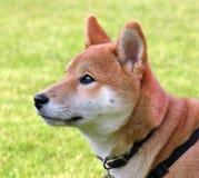 shiba σκυλιών Στοκ Εικόνες