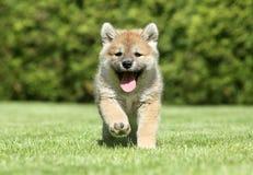 shiba щенка inu идущее Стоковые Изображения RF