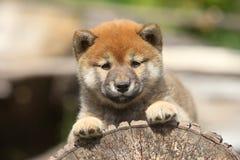 shiba щенка inu Стоковое Изображение