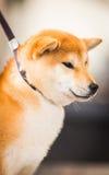 Shiba Fotografie Stock Libere da Diritti