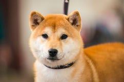 Shiba. Close Up Head Snout Of Beautiful Young Red Shiba Inu Stock Photos
