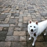 Shiba curieux Images stock