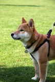 Shiba dog. Very cute little Shiba Inu puppy dog Royalty Free Stock Images