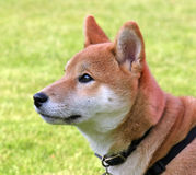 Shiba dog. Close-up portrait of a cute Shiba Inu puppy Stock Images