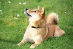 The shiba dog is lying in the grass and looks at the top. A shiba dog is lying in the grass and looks at the top Stock Photos