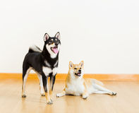Shiba dogs Stock Images