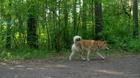 Shiba hundkörningar i träna stock video