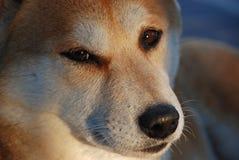 shiba inu σκυλιών Στοκ Εικόνα