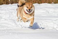 Shiba Inu στο χιόνι Στοκ φωτογραφία με δικαίωμα ελεύθερης χρήσης