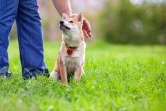 Shiba Inu в парке Стоковое фото RF