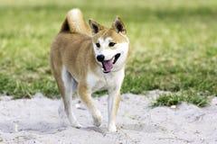 shiba inu собаки Стоковое Изображение RF