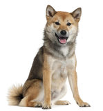 Shiba Inu, 1 year old, sitting Royalty Free Stock Image