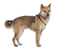 Shiba inu, 2 years old, standing Stock Image