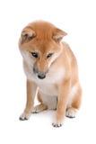 Shiba Inu Royalty Free Stock Photos