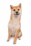 Shiba Inu Stock Image