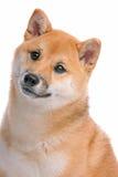 Shiba Inu Fotografia de Stock