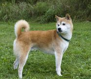 Shiba Inu Royalty Free Stock Photo