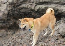 Shiba inu auf einer Wanderung Lizenzfreie Stockfotos
