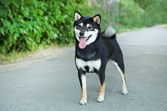 Shiba inu. Beautiful black shiba inu dog Royalty Free Stock Images