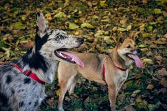Shiba inu and border collie / carea leones puppy dog with tongue out, With a fall landscape with fallen leaves Royalty Free Stock Image
