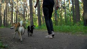 The dog on a leash walks with the owner through the forest. The Shiba Inu breed dog on a leash walks with the owner through the forest stock video footage