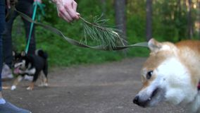 The Shiba breed dog plays with a spruce branch in the hands of the host. The Shiba Inu breed dog plays with a spruce branch in the hands of the host stock video footage