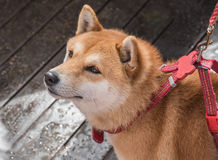 Shiba Inu. Is a cute dog Royalty Free Stock Images