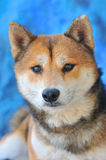 Shiba Inu dog. Close up photo of an Shiba Inu breed dog Stock Photos