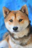Shiba Inu dog Stock Photos