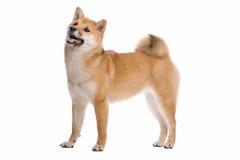 Shiba Inu dog Stock Photography