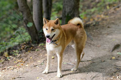 Shiba inu dog. In the park Royalty Free Stock Photography