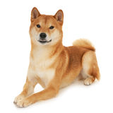 Shiba Inu dog. Japanese Shiba Inu dog in front of a white background Royalty Free Stock Images