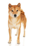 Shiba Inu dog. Japanese Shiba Inu dog in front of a white background Stock Image