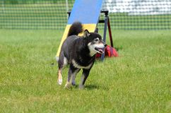 Shiba Inu at Dog Agility Trial Royalty Free Stock Image