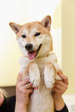 Shiba Inu dog an appointment at the beautician Stock Photo