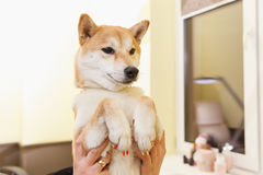 Shiba Inu dog an appointment at the beautician Stock Images