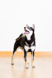 Shiba inu dog in black looking up Royalty Free Stock Photos