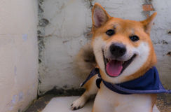 Shiba inu dog. Close up of shiba inu a dog of japan with scarf in blue color, selective focus stock photo