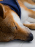 Shiba inu dog. Close up of shiba inu a dog of japan with scarf in blue color sleeping, selective focus Royalty Free Stock Images