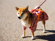 Shiba Inu Dog with cute dress stock photos