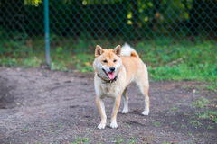 Shiba inu dog in dog park Stock Photo